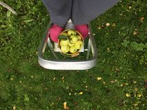 Collect apples using ladders. The gardener harvests the apples in the fall, using aluminum ladders step ladders at pink galoshes, a bucket of green apples royalty free stock photos