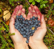 Collect berries blueberries in the forest Royalty Free Stock Photography