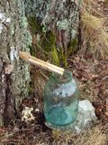 Collect birch sap 2 Royalty Free Stock Images