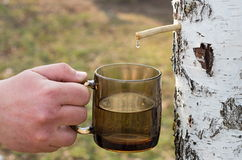 Collect birch sap. Birch sap drop falls into the cup royalty free stock photo