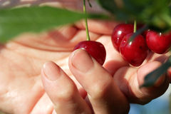 Collect cherries. Female hand harvested ripe cherries from the tree Royalty Free Stock Photography