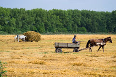Collect a haystack. Horse in harness came to collect a haystack Stock Photos