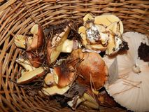 Collect mushrooms in the country. In the woods stock images