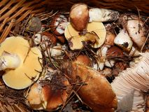 Collect mushrooms in the country. In the woods royalty free stock images