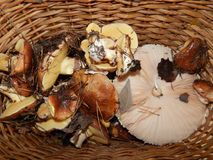 Collect mushrooms in the country. In the woods royalty free stock photos