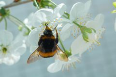 Collect nectar from flowers with hard-working bumblebee. Beautiful bumblebee stock image