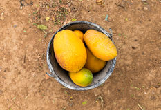 Collect papaya from farm. Fresh papayas in bucket on dirt background stock images