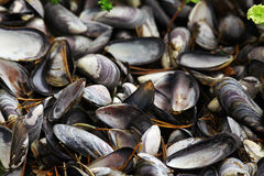 Collect and prepare mussels royalty free stock photos