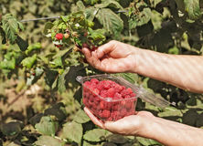 Collect red raspberry Royalty Free Stock Photo