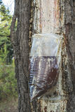 Collect of resin on tree. Collect of resin on pine tree. Plastic bag royalty free stock photos