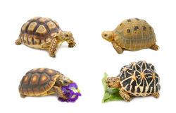 Collect of tortoise exotic animals. Isolate on white royalty free stock photo