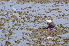 Collect wild oyster. A Taiwan village women at leisure, in the estuary to collect wild oyster Stock Photo