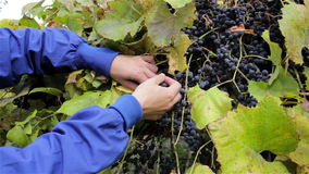 Collect wine grapes stock video footage