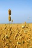Collecte commerciale de grain de millet Image libre de droits