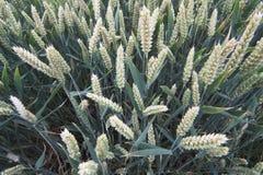 Collecte de blé Photographie stock