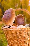 Collecte de champignon de couche Photo stock