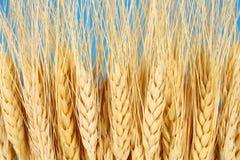 collecte de concept d'agriculture cultivant le blé Photographie stock