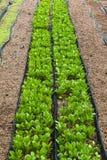 Collecte de culture hydroponique de légumes images stock