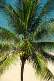 Collecte de fin d'arbre de noix de coco Photographie stock libre de droits