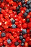 Collecte de fraisier commun Photo stock