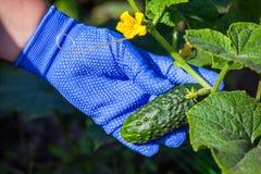 Collecte de la récolte des concombres Vert, un petit concombre image libre de droits