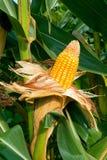 Collecte de maïs Photos libres de droits