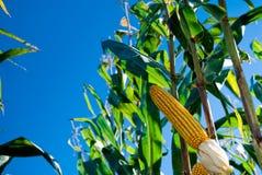 Collecte de maïs Photographie stock