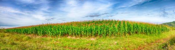 Collecte de maïs Photos stock