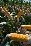 Collecte de maïs Photographie stock libre de droits