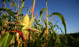 Collecte de maïs d'Openned. Photo stock