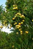 Collecte de mangue Photographie stock