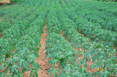 Collecte de manioc Photo stock