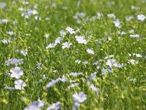 Collecte de semence d'oeillette (usitatissimum de Linum) Image libre de droits