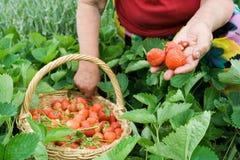 Collecte des fraises Image stock