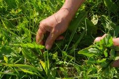 Collecte des herbes Photographie stock libre de droits