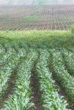 Collecte saine de maïs Image libre de droits