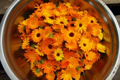 Collected calendula flowers Royalty Free Stock Images