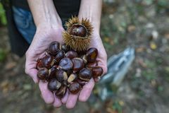 Collecting edible chestnuts royalty free stock photos