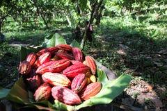 Collected cocoa pods Stock Photos