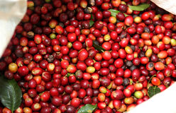 Collected coffee Royalty Free Stock Images