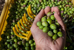 Collected di'olive Royalty Free Stock Photography