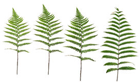 Collected Leaf fern isolated on white background stock images