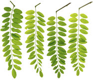 Collected Leguminosae twig leaves macro isolated on white backgr Royalty Free Stock Photos