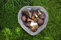 Collected mushroom in a basket Stock Photography