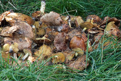 Collected mushrooms gresers lie on the background of green grass. Harvest wild mushrooms in the grass stock images