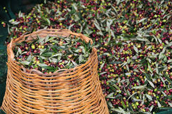 Collected olives. In a traditional basket Royalty Free Stock Photography