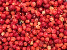 Collected red ripe wild strawberry stock images