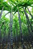 Collectes de canne à sucre photographie stock libre de droits