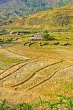 Collectes de riz de tribu de côte dans Sapa images libres de droits