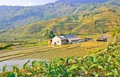 Collectes de riz de vallée verte images libres de droits